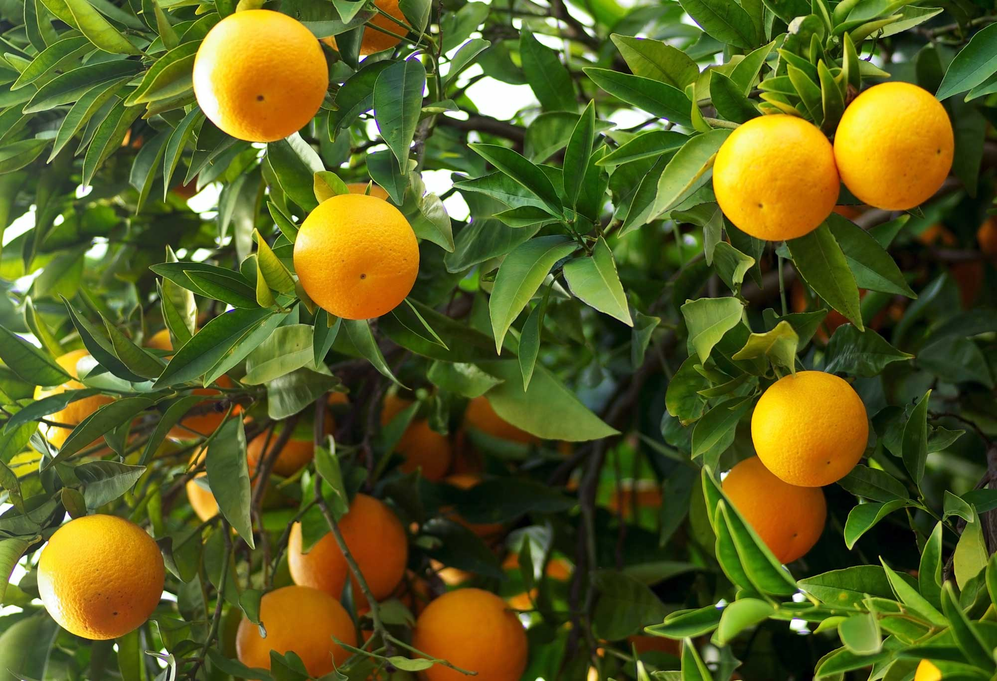 Buy mature orange tree carson california
