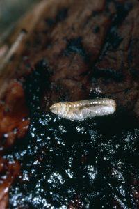 WHF Maggot