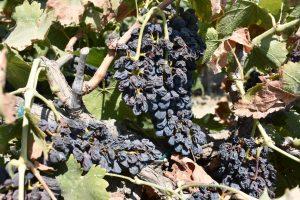 Grapevine Heat Stress and Sunburn Management