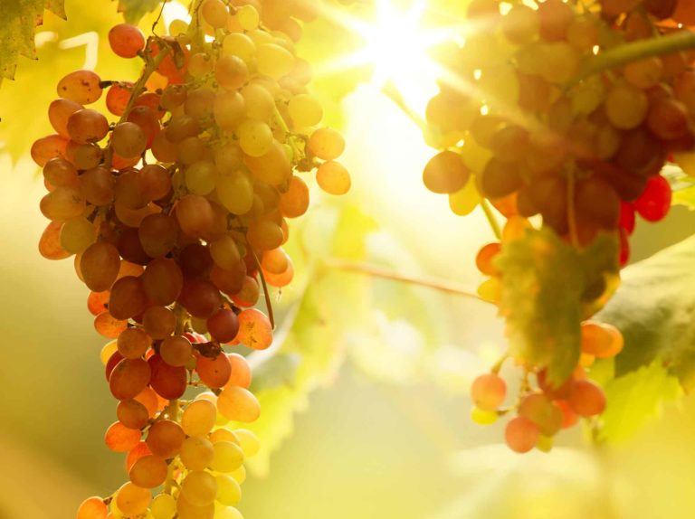 Grapevine Heat Stress and Sunburn Management