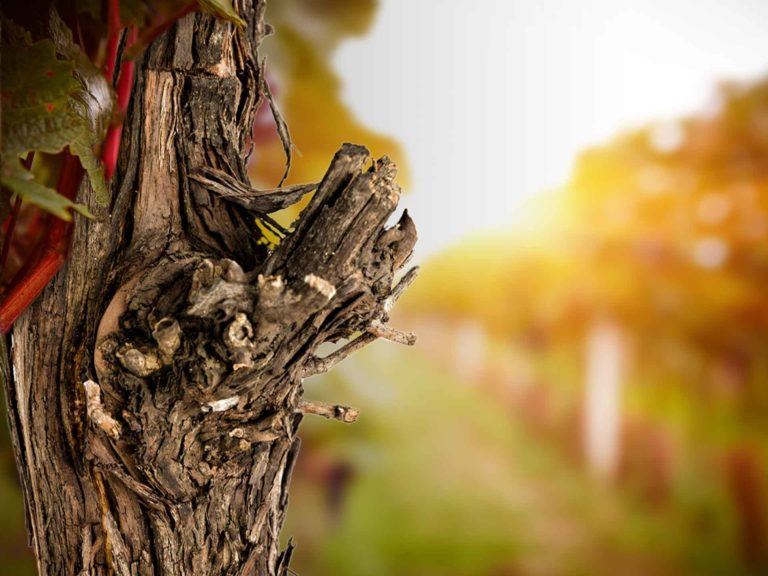 Grapevine Trunk Diseases: Current Management Strategies