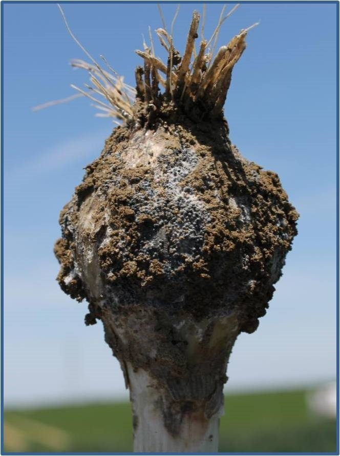 Management of White Rot of Onions and Garlic and Recent Research