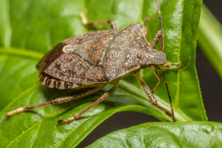 The Brown Marmorated Stink Bug Is (Still) Invading California