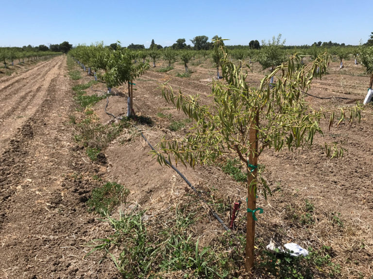 The Start of Irrigation in Almonds: Early Season Irrigation Management Impact Tree Health All Season