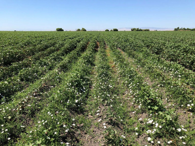 Controlling Herbicide-Resistant and Perennial Weeds in California Cotton