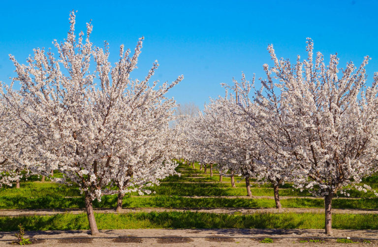 Economic Trends in Almond Production