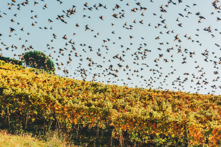Outsmarting Birds in Vineyards: Know Your Birds and Keep them Guessing