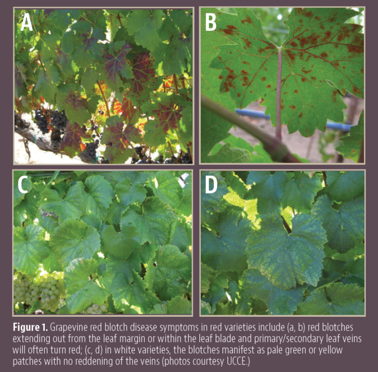 Update on Potential Insect Vectors of Grapevine Red Blotch Virus in California Vineyards
