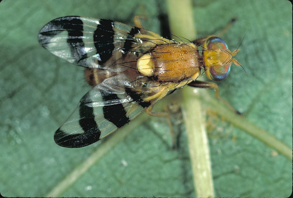 Adult Walnut Husk Fly