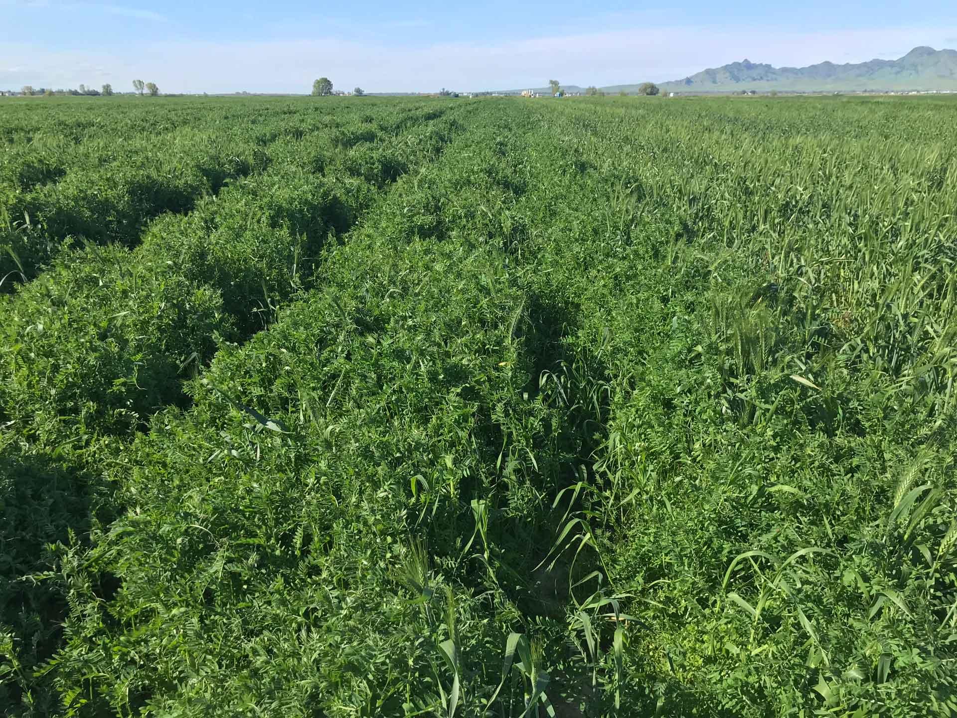 Winter vetch cover crop