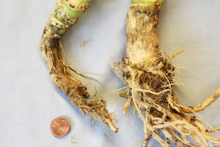 A Review of Pythium Diseases in Row Crops