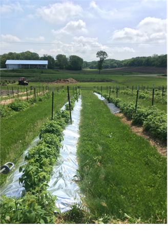 Plastic Mulches Reduce Spotted-Wing Drosophila Infestation in Fall-Bearing Raspberry
