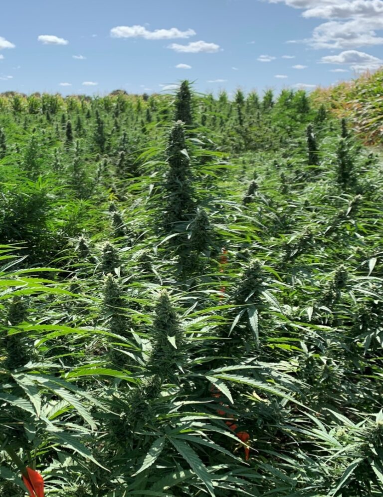 Ongoing University of California Hemp Research to Address Water, N Issues